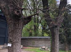 【湯島聖堂の楷の木】
